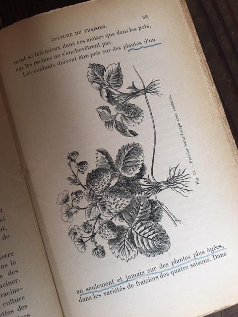 英国アンティークのいちごの栽培本挿画