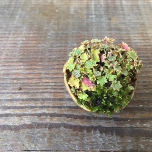 極姫ユキノシタの豆盆栽