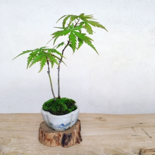 イロハモミジの小品盆栽