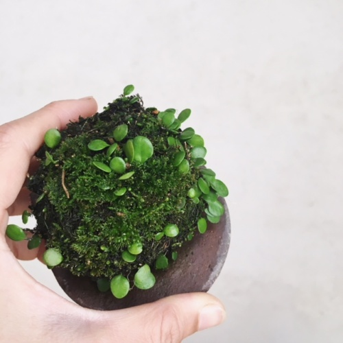 豆ヅタ玉陶盤付き