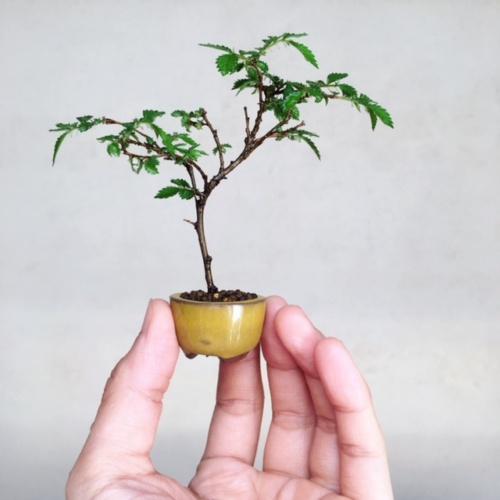 ニレケヤキの豆盆栽