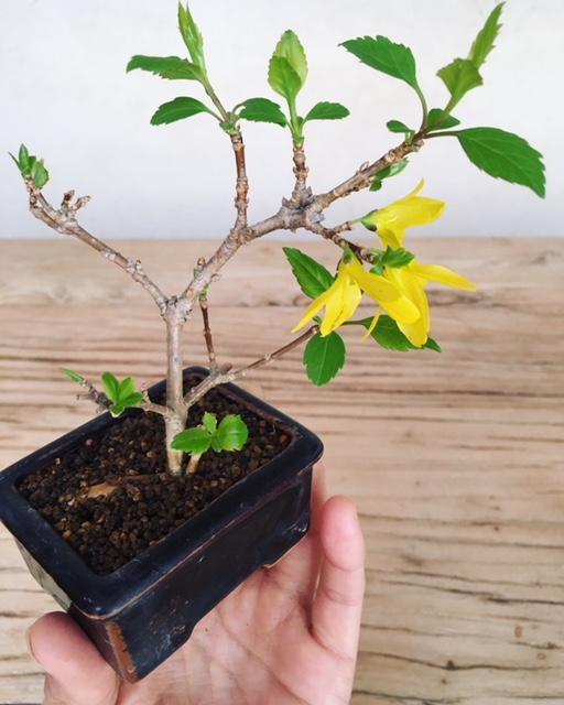 レンギョウの小品盆栽