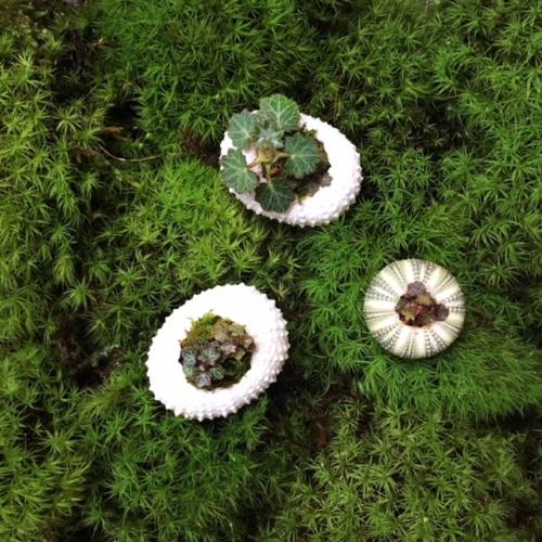 ウニの貝殻に入った極姫ユキノシタ