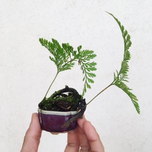 トキワシノブの小品盆栽