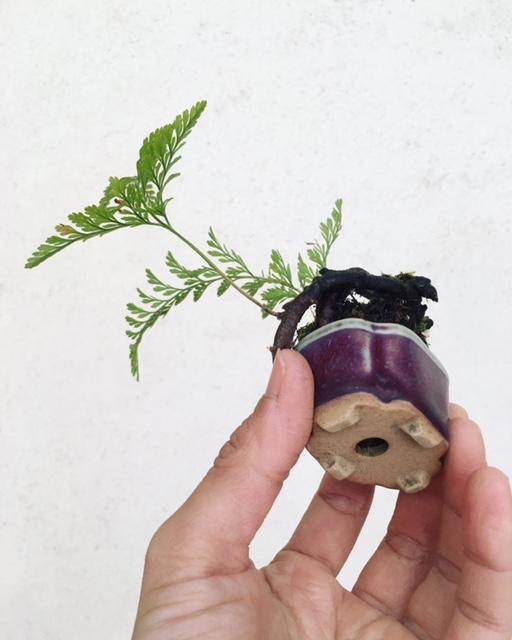 トキワシノブの小品盆栽鉢底
