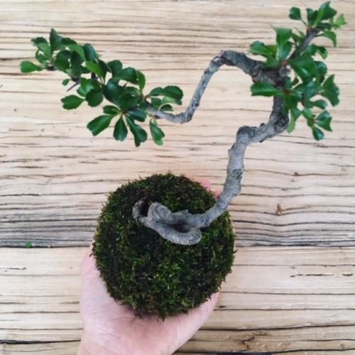 長寿梅の苔玉上から