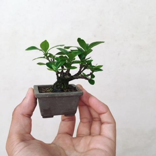 クチナシの小品盆栽