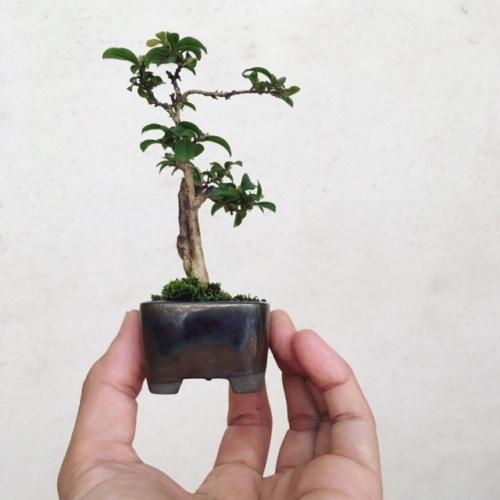 サルスベリの小品盆栽