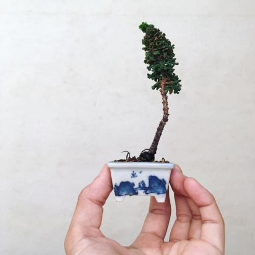 石化ヒノキの豆盆栽