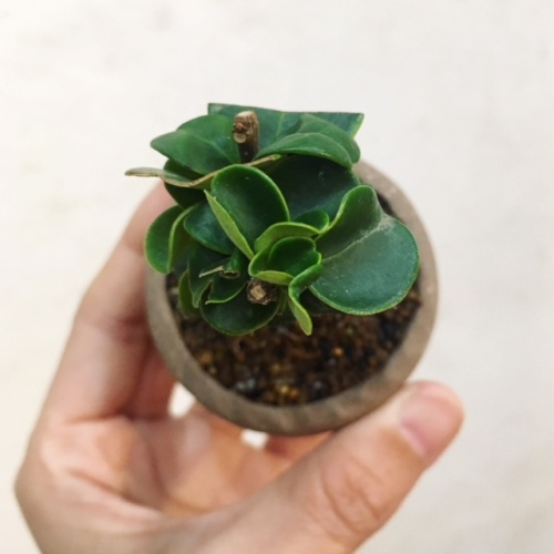 フクロモチの小品盆栽