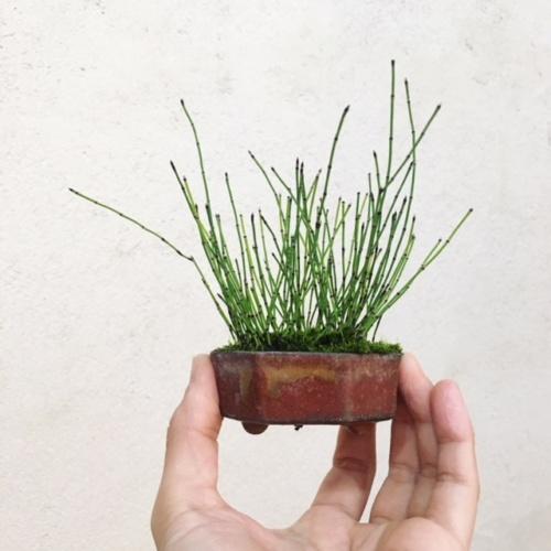 千島姫トクサの小品盆栽