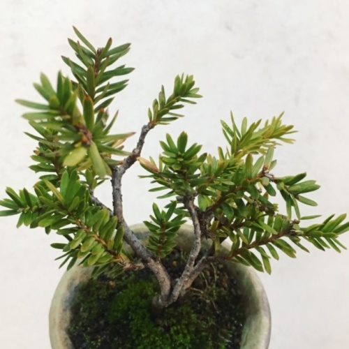 イチイの小品盆栽