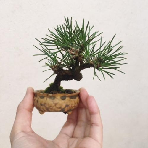 黒松の小品盆栽