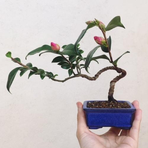 ツバキの小品盆栽
