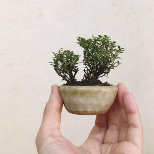 屋久島姫ツゲの小品盆栽