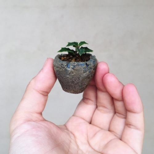 姫ヒイラギの豆盆栽