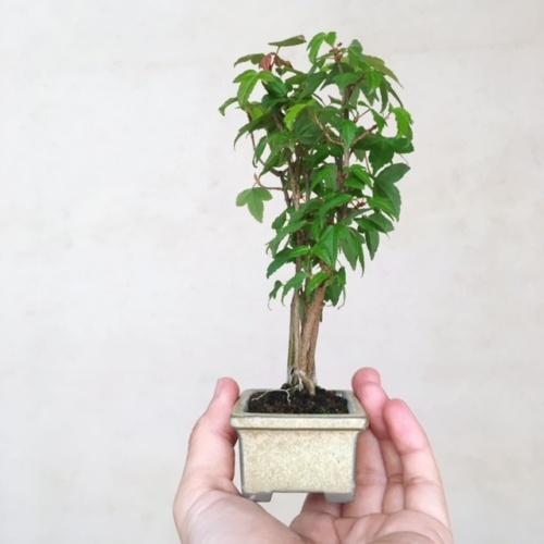 カエデの小品盆栽