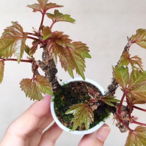 ナツヅタの小品盆栽