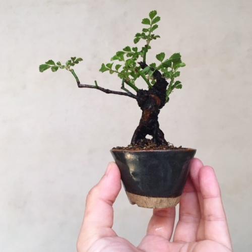 野バラの小品盆栽