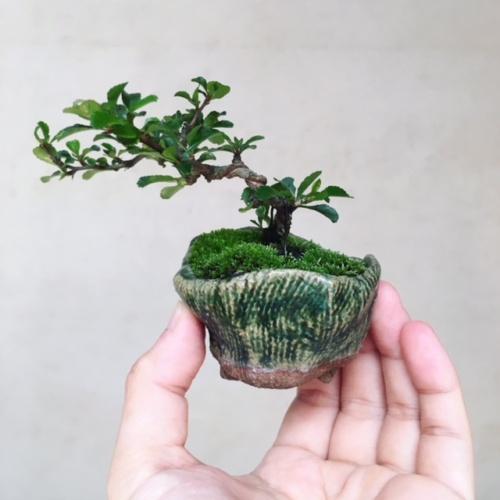 長寿梅の小品盆栽
